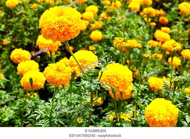 Lots of beautiful marigold flowers in the garden