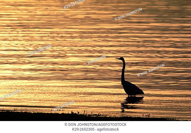Great Egret (Casmerodius albus) Silhouette, Bradenton, FL, USA