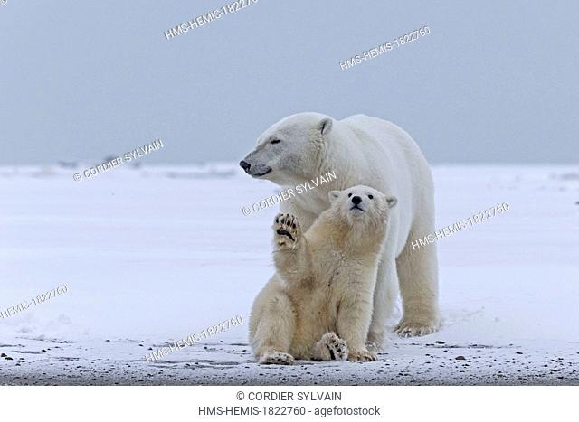 United States, Alaska, Arctic National Wildlife Refuge, Kaktovik, Polar Bear (Ursus maritimus), mother with one cub from the year along a barrier island outside...
