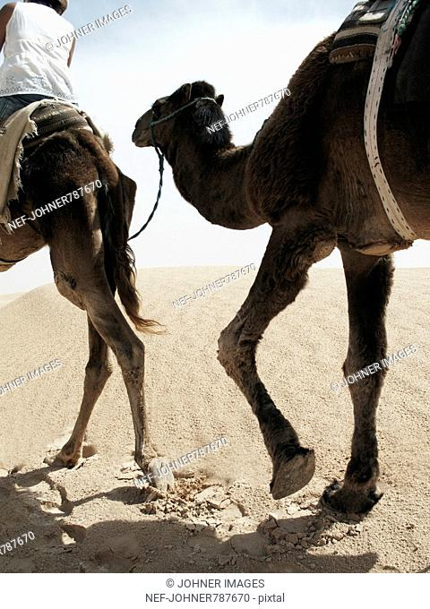 Dromedaries walking in the desert with people on their back, Tunisia