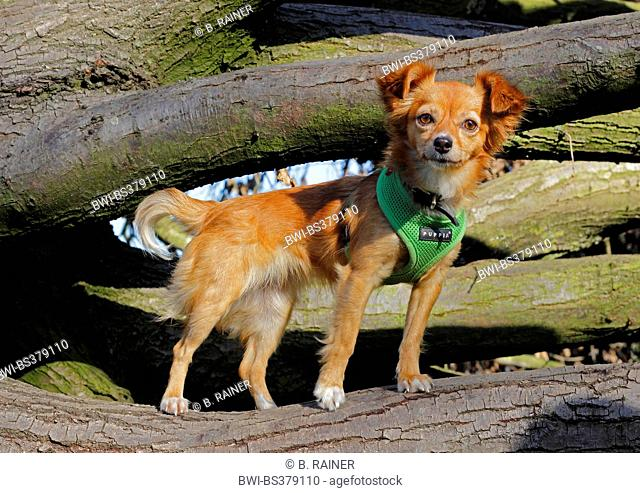 mixed breed dog (Canis lupus f. familiaris), one years old Chihuahua mixed breed she-dog standing on a tree trunk, Germany