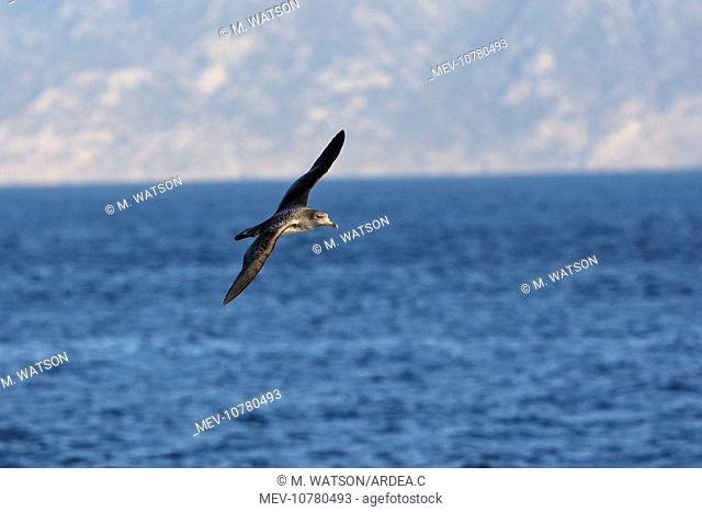 Cory's Shearwater - in flight. (Calonectris diomedea)