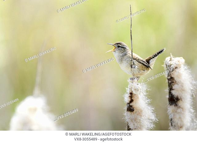 singing Marsh wren, Cistothorus palustris, George C. Reifel Migratory Bird Sanctuary, Delta, British Columbia, Canada