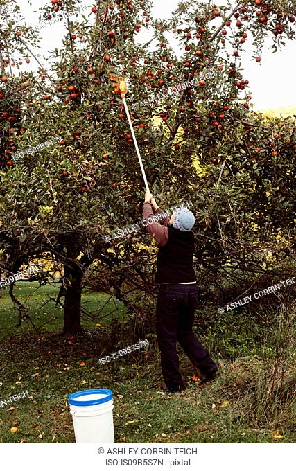 Woman picking apples from tree using fruit picker, rear view