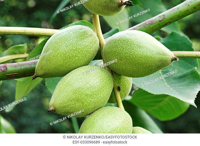 Manchurian walnut (Juglans mandshurica)