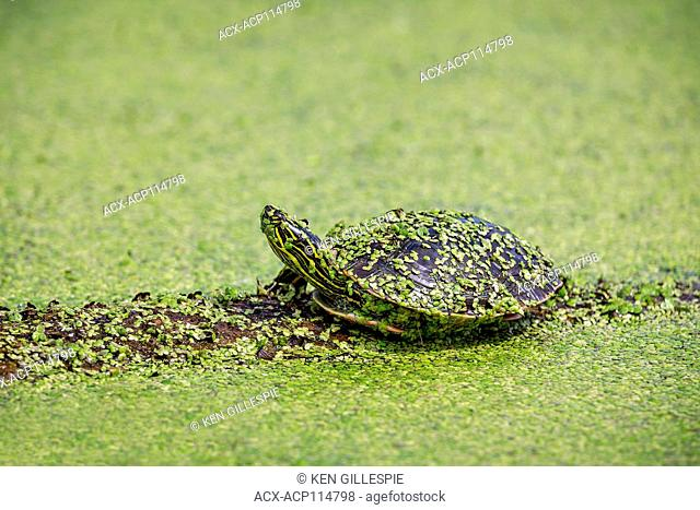 Western Painted Turtle on a log, covered in duckweed, Manitoba, Canada