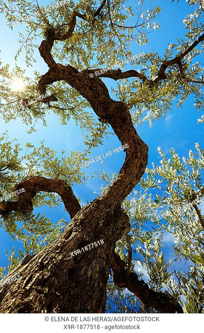 Olive tree  Lanciego  Alava  Basque country  Spain
