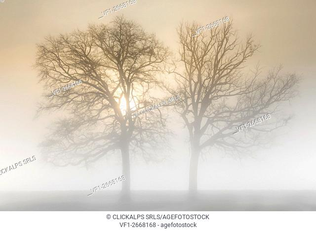 Plain Piedmont, Turin, Italy. Trees in the mist