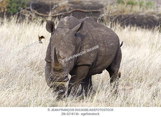 White rhinoceros (Ceratotherium simum), walking adult male, feeding on dry grass, with two red-billed oxpeckers (Buphagus erythrorhynchus), Kruger National Park