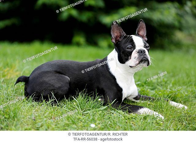 lying Boston Terrier