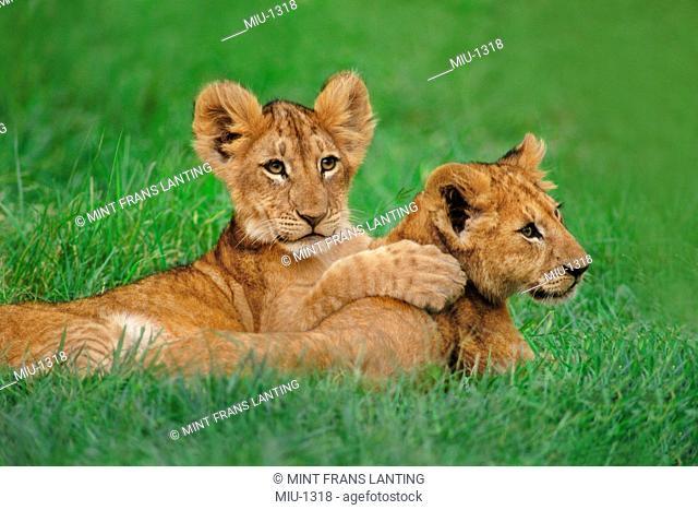 Lion cubs playing, Panthera leo, Masai Mara National Reserve, Kenya