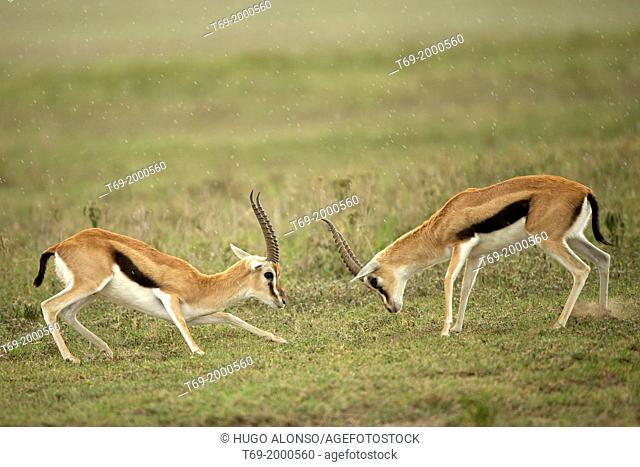 Thomson's gazelles fighting. Eudorcas thomsonii. Ngorongoro. Tanzania