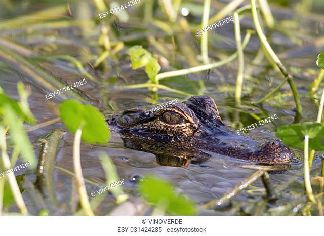 American Alligator rests silently amid plants along shoreline