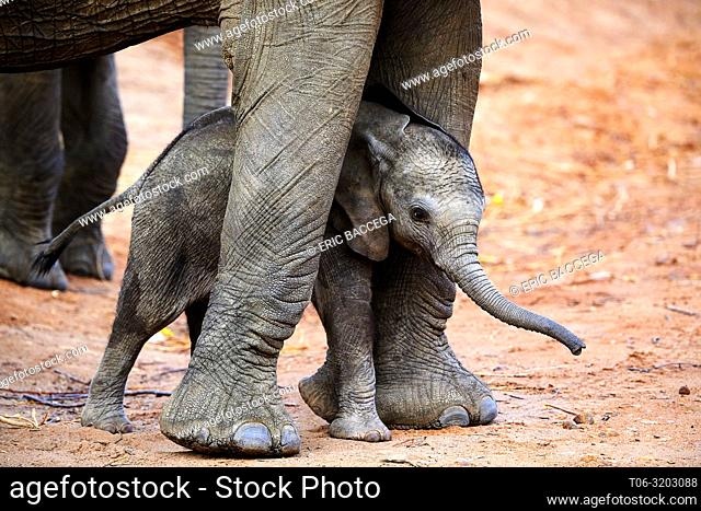 African elephant (Loxodonta africana) very young calf standing between the legs of its mother for protection, South Luangwa National Park, Zambia