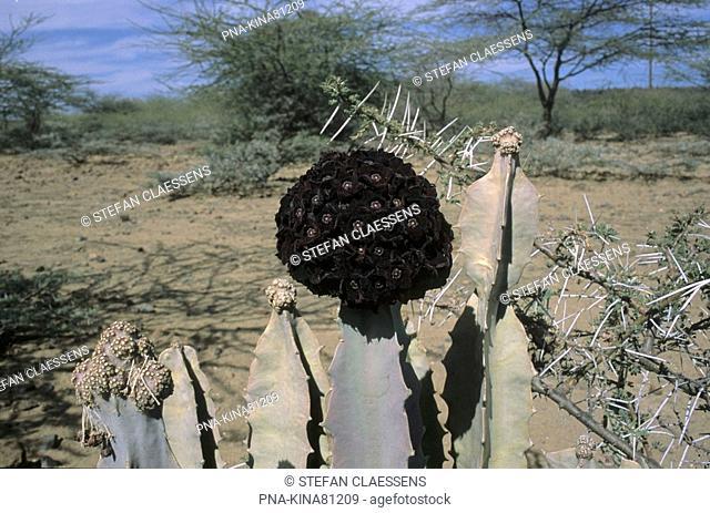 Spurge Euphorbia spec. - Magadi, Great Rift Valley, Kenya, Africa