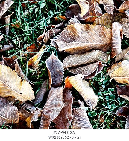 High angle view of frozen dry leaves on grass