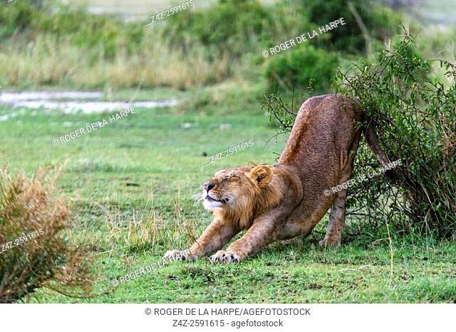Lion (Panthera leo) stretching in the rain. Serengeti National Park. Tanzania
