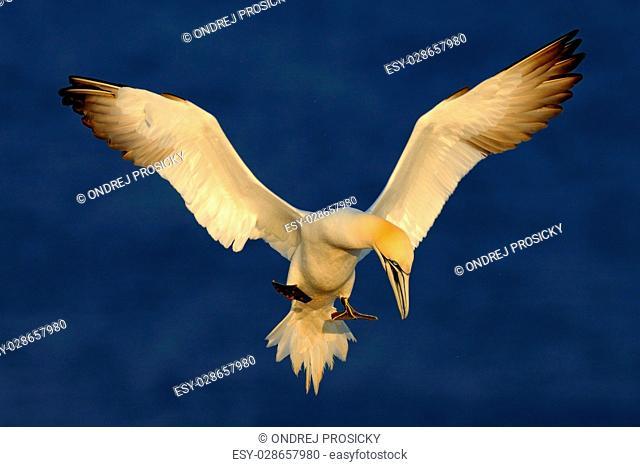 Flying sea bird, Northern gannet, Sula bassana