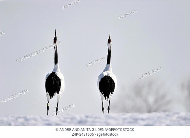 Two Japanese red-crowned cranes (Grus japonensis) displaying courtship in snow, Akan, Hokkaido, Japan