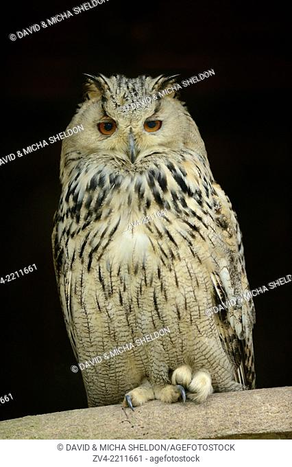 Close-up of a Eurasian eagle-owl (Bubo bubo) sitting on a branch