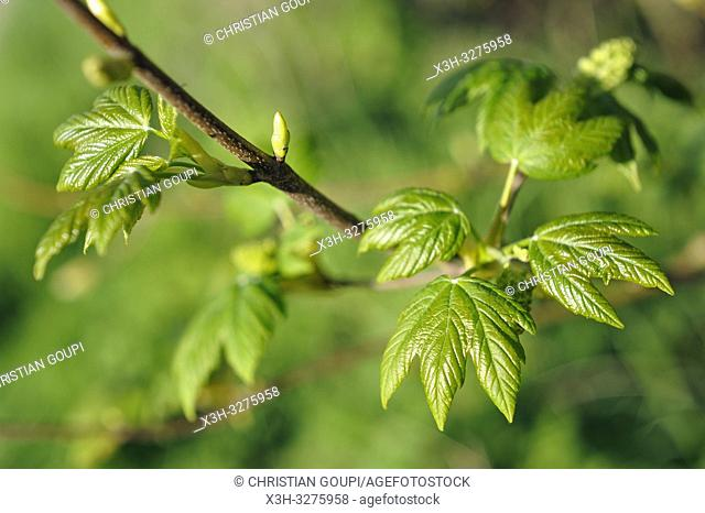 young leaves of sycamore (Acer pseudoplatanus), Eure-et-Loir department, Centre-Val de Loire region, France, Europe