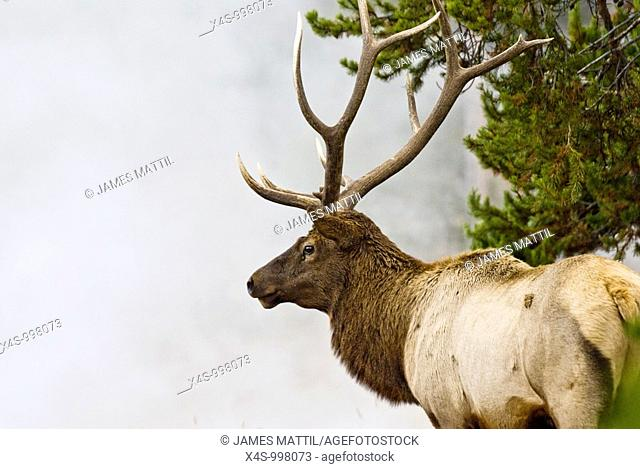 A bull elk with battle-ready antlers poses in the steam and mist from a geyser in Yellowstone Park