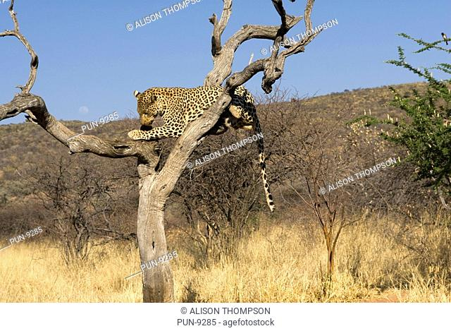 Leopard Panthera pardus eating meat in a tree at The Africa Foundation, Namibia