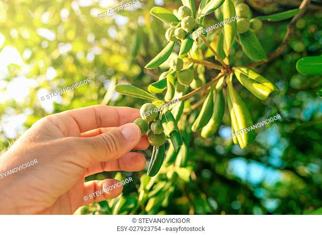 Farmer picking olive like fruit from oleaster shrub, common live fencing plant on Adriatic coast region