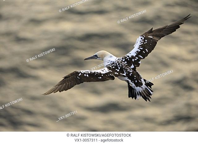 Northern Gannet ( Morus bassanus ), top view on a young bird, flying high above golden water, wildlife, Europe