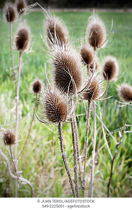 Thistle Blooms Dried