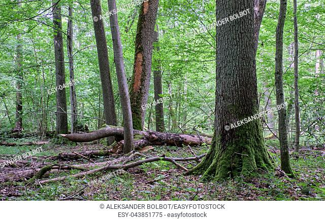 Deciduous stand with hornbeams and oak in summer with monumental English oak tree in foreground, Bialowieza Forest, Poland, Europe