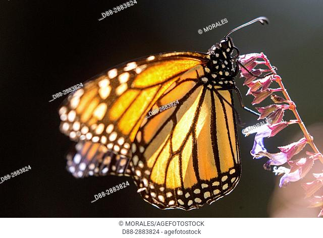 Mexico, State of Michoacan, Angangueo, Reserve of the Biosfera Monarca El Rosario, monarch butterfly (Danaus plexippus), Foraging on flowers