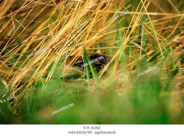 European Hare, Lepus europaeus, Leporidae, hare, pub, hidden, mammal, animal, Neusiedlersee, Burgenland, Austria