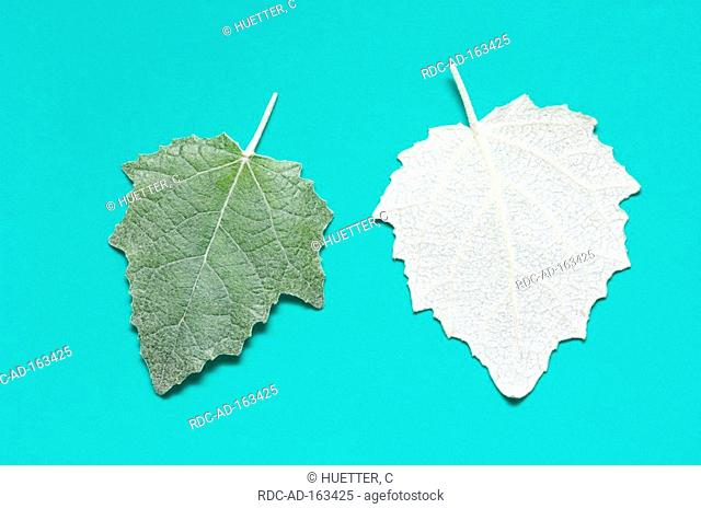 White Poplar leaves Populus alba Silver Poplar