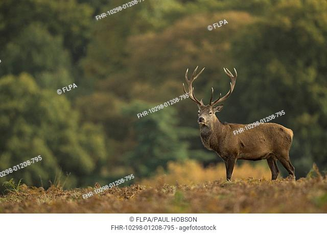 Red Deer (Cervus elaphus) stag, standing amongst bracken, during rutting season, Bradgate Park, Leicestershire, England, October