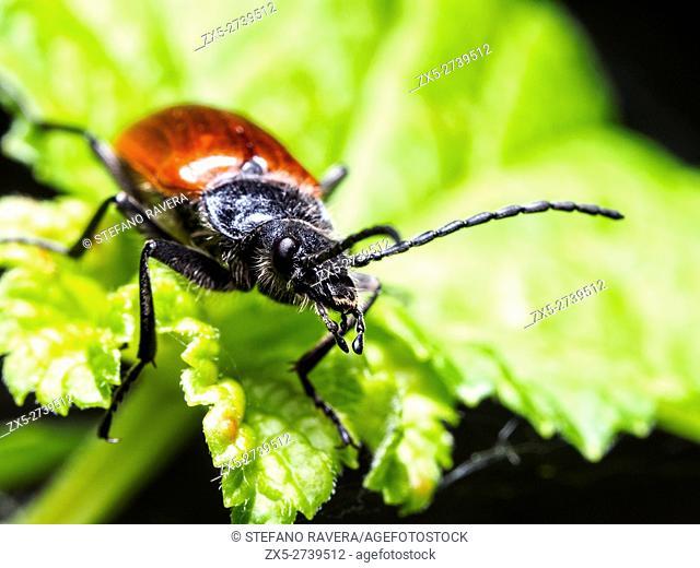 Cebrio gigas beetle - Italy