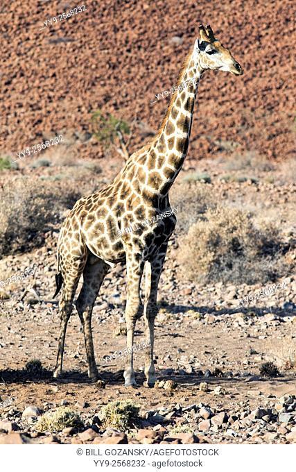 Southern Giraffe (Giraffa camelopardalis) - Desert Rhino Camp - Damaraland, Namibia, Africa
