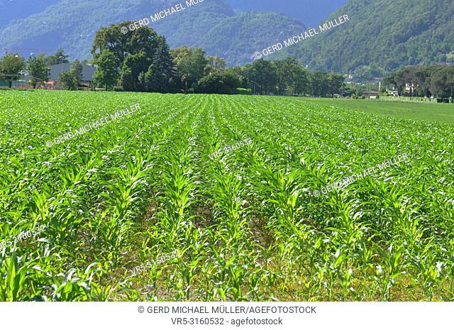 South Switzerland: Mais Farming in the Maggia River Delta near Ascona and Locarno City