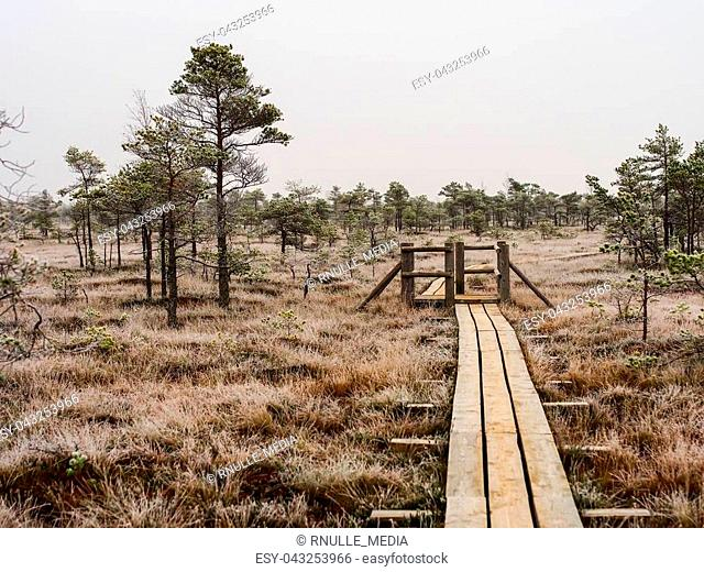Pine Trees in Field of Kemeri moor in Latvia With a Footbridge Between them on a Cold Winter Morning with some Frost on them