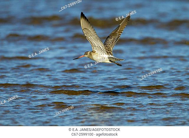Bar-tailed Godwit Limosa lapponica in flight over the Wash Norfolk