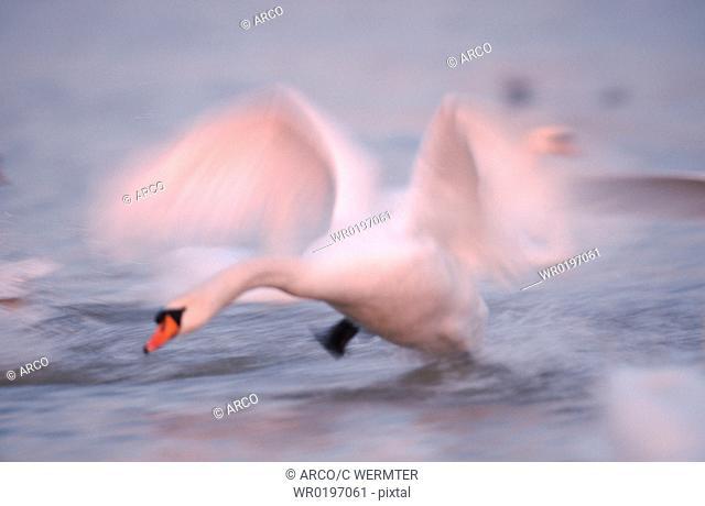 Mute, Swan, North, Rhine-Westphalia, Germany,Cygnus, olor