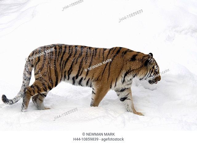 Siberian Tiger, Panthera tigris altaica, Winter, S
