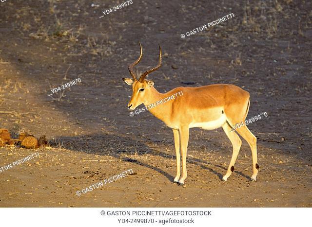 Impalas (Antidorcas melampus melampus), Kruger National Park, South Africa