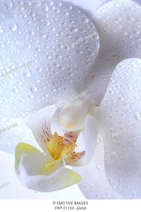 White orchid bloom