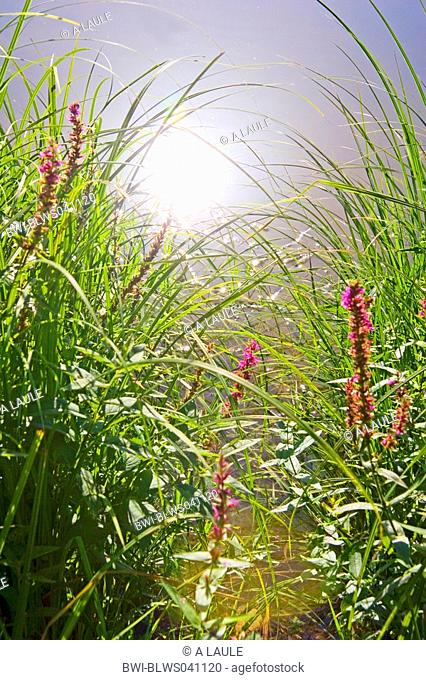 purple loosestrife, spiked loosestrife Lythrum salicaria, waterside and reflection of the sun, Germany, Baden-Wuerttemberg