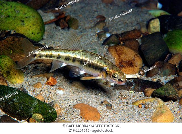 European minnow swimming in a french alpine river. Phoxinus phoxinus