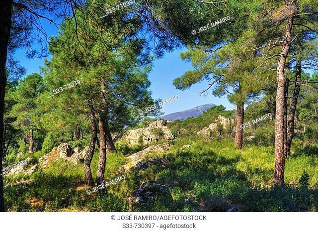 Pines. Cadalso de los Vidrios. Madrid province. Spain