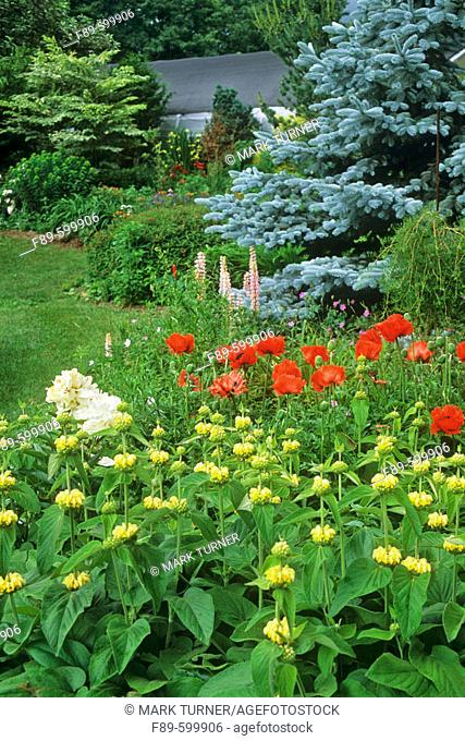 Oriental Poppies & Phlomis w/ white Peony in perennial bed; Blue Spruce & Lupines bkgnd (Papaver orientale 'Turkenlouis'; Phlomis hybrid mix; Picea pungens f