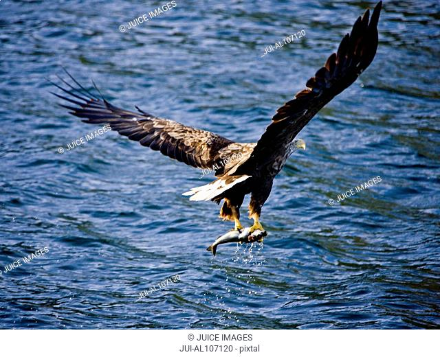 White-tailed eagle taking off from water with fish