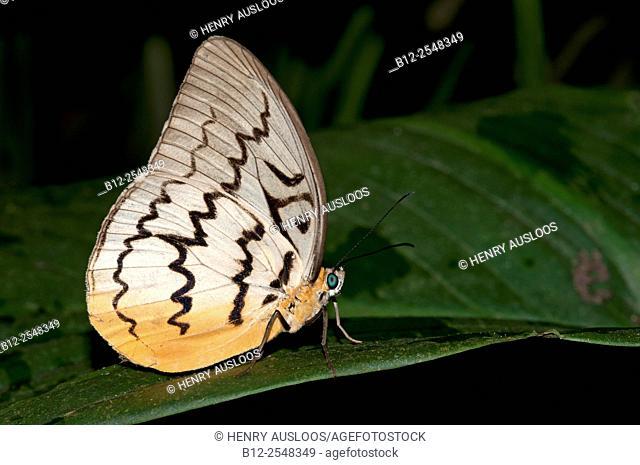 Pallid Faun (Melanocyma faunula), Thailand